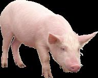 Pig PNG Free Download 13
