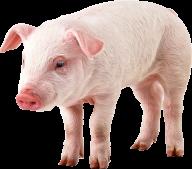 Pig PNG Free Download 14
