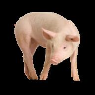 Pig PNG Free Download 16