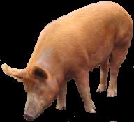 Pig PNG Free Download 17