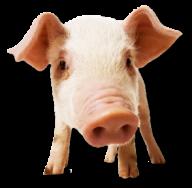 Pig PNG Free Download 19