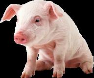 Pig PNG Free Download 2