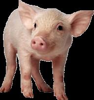 Pig PNG Free Download 20