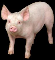 Pig PNG Free Download 21