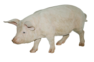 Pig PNG Free Download 22
