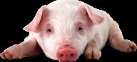 Pig PNG Free Download 23