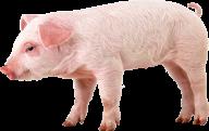 Pig PNG Free Download 24