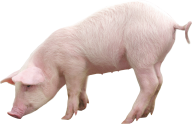 Pig PNG Free Download 25