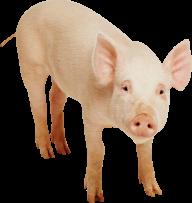 Pig PNG Free Download 26
