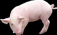 Pig PNG Free Download 3