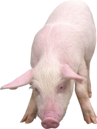 Pig PNG Free Download 4
