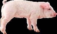 Pig PNG Free Download 5