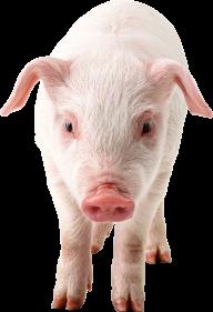 Pig PNG Free Download 6