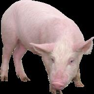 Pig PNG Free Download 7
