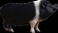 Pig PNG Free Download 8
