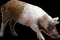 Pig PNG Free Download 9