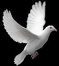 Pigeon PNG Free Download 1