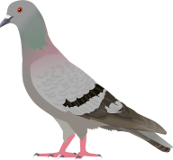 Pigeon PNG Free Download 10