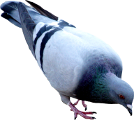 Pigeon PNG Free Download 11