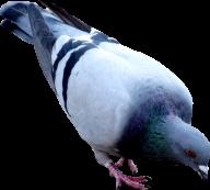 Pigeon PNG Free Download 11