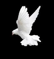 Pigeon PNG Free Download 12