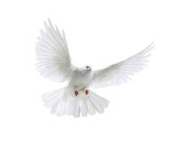 Pigeon PNG Free Download 13