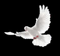 Pigeon PNG Free Download 14