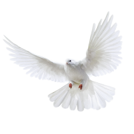Pigeon PNG Free Download 15