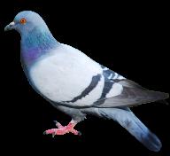 Pigeon PNG Free Download 16