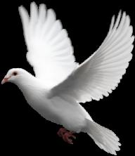 Pigeon PNG Free Download 17