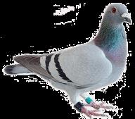 Pigeon PNG Free Download 19