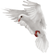 Pigeon PNG Free Download 2