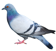 Pigeon PNG Free Download 20