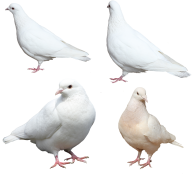 Pigeon PNG Free Download 21