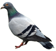 Pigeon PNG Free Download 22