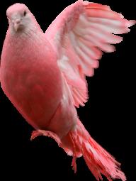 Pigeon PNG Free Download 3