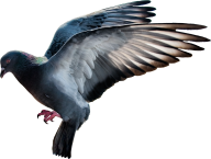 Pigeon PNG Free Download 4