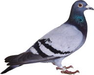 Pigeon PNG Free Download 5