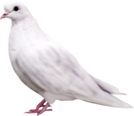 Pigeon PNG Free Download 6