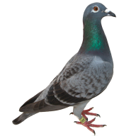Pigeon PNG Free Download 7