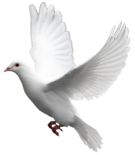 Pigeon PNG Free Download 8