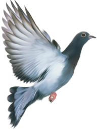 Pigeon PNG Free Download 9