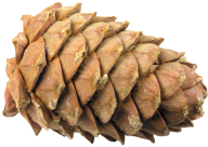 Pine Cone Clipart Image