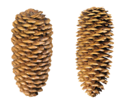 Pine Cone Free Png Doownload