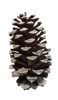 Pine Cone Png Free Image Download