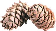Pine Cone Png