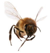 png bee download
