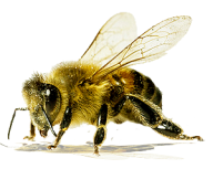 png bee free download