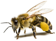 png bee