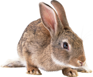 Rabbit PNG Free Download 1